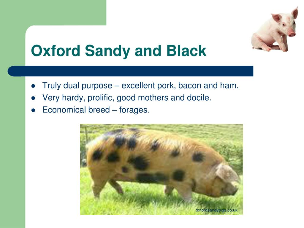 Oxford Sandy and Black