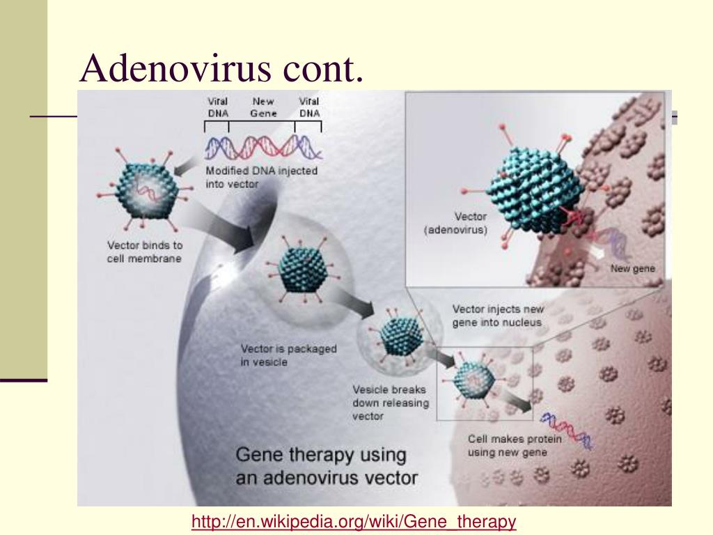 Adenovirus cont.