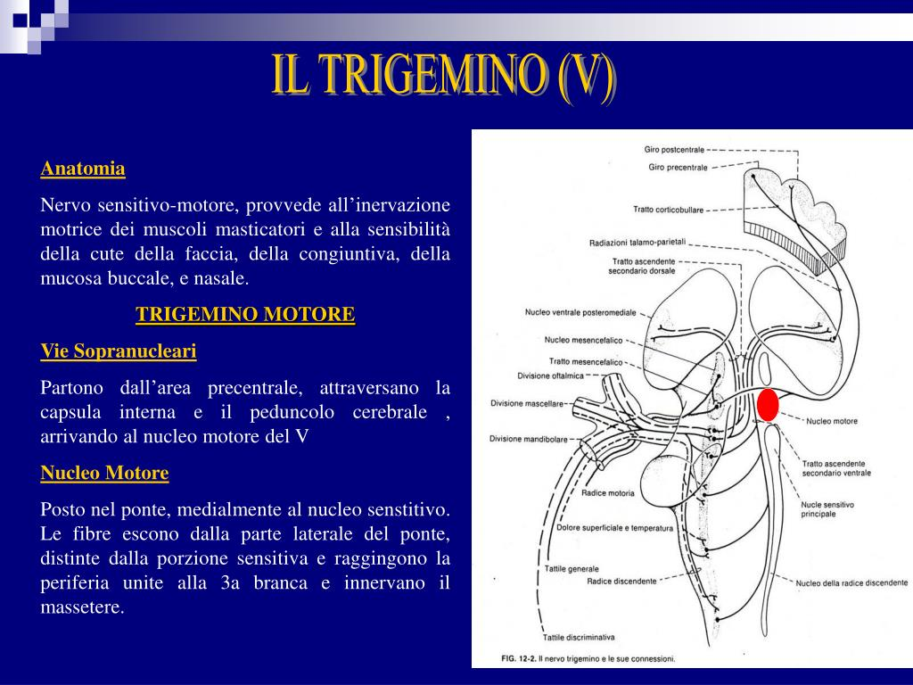 IL TRIGEMINO (V)