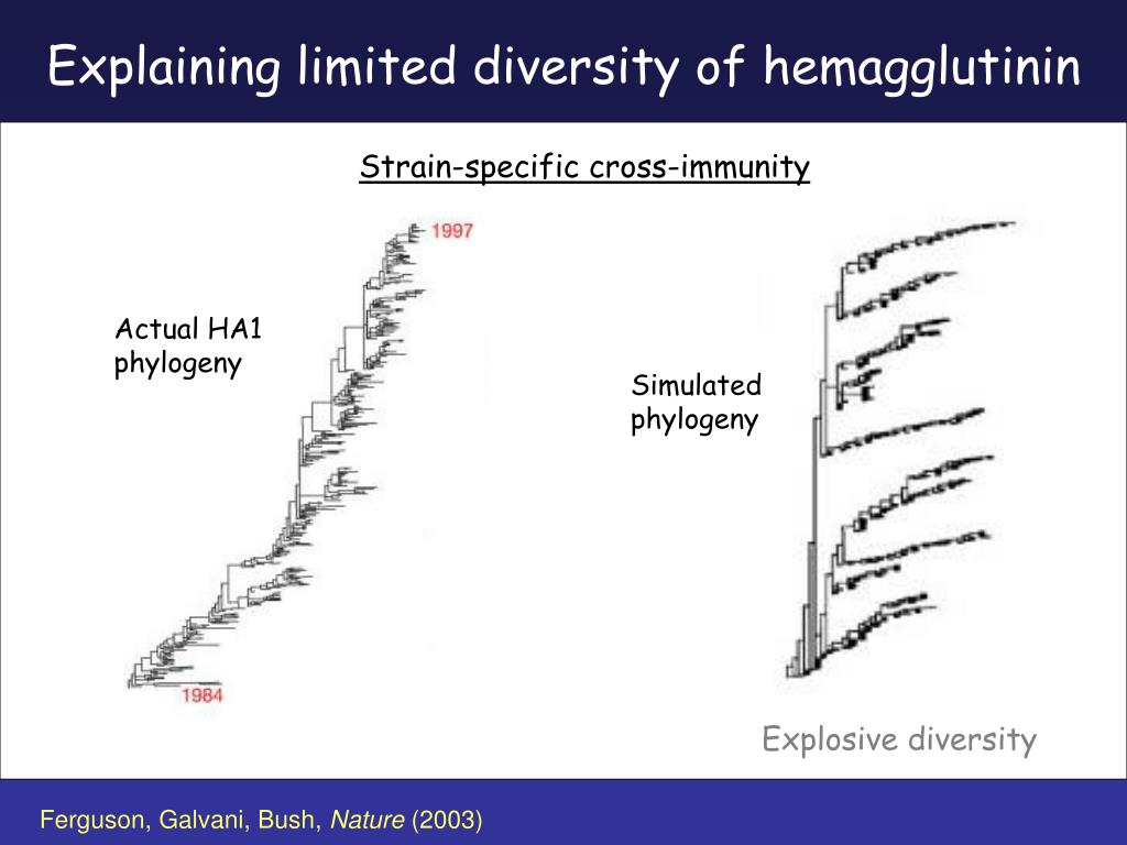 Explaining limited diversity of hemagglutinin