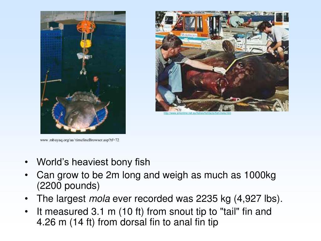 World's heaviest bony fish