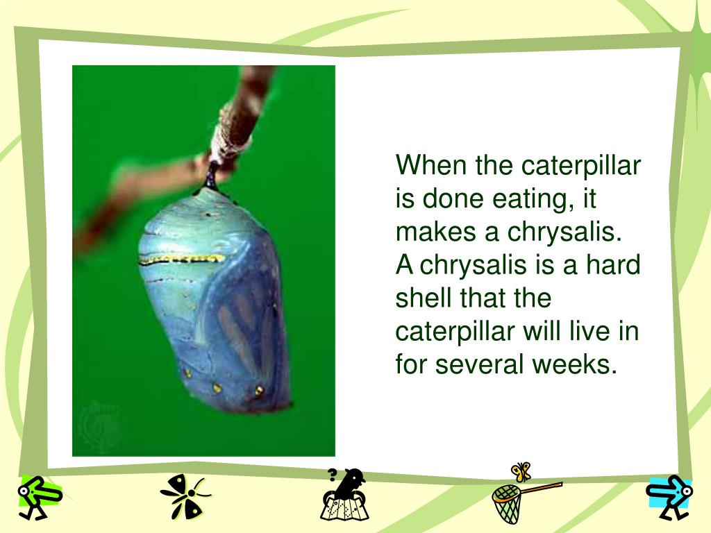 When the caterpillar is done eating, it makes a chrysalis.  A chrysalis is a hard shell that the caterpillar will live in for several weeks.