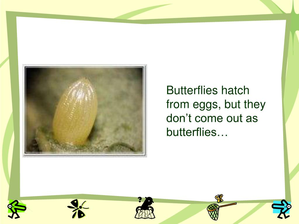 Butterflies hatch from eggs, but they don't come out as butterflies…