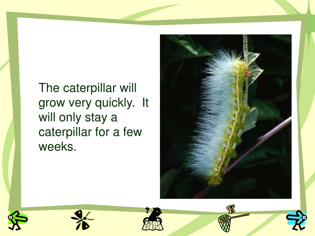 The caterpillar will grow very quickly.  It will only stay a caterpillar for a few weeks.