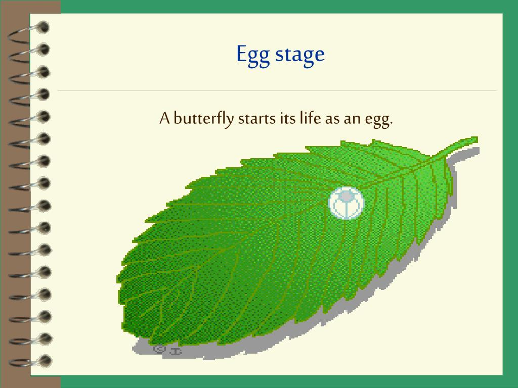 Egg stage