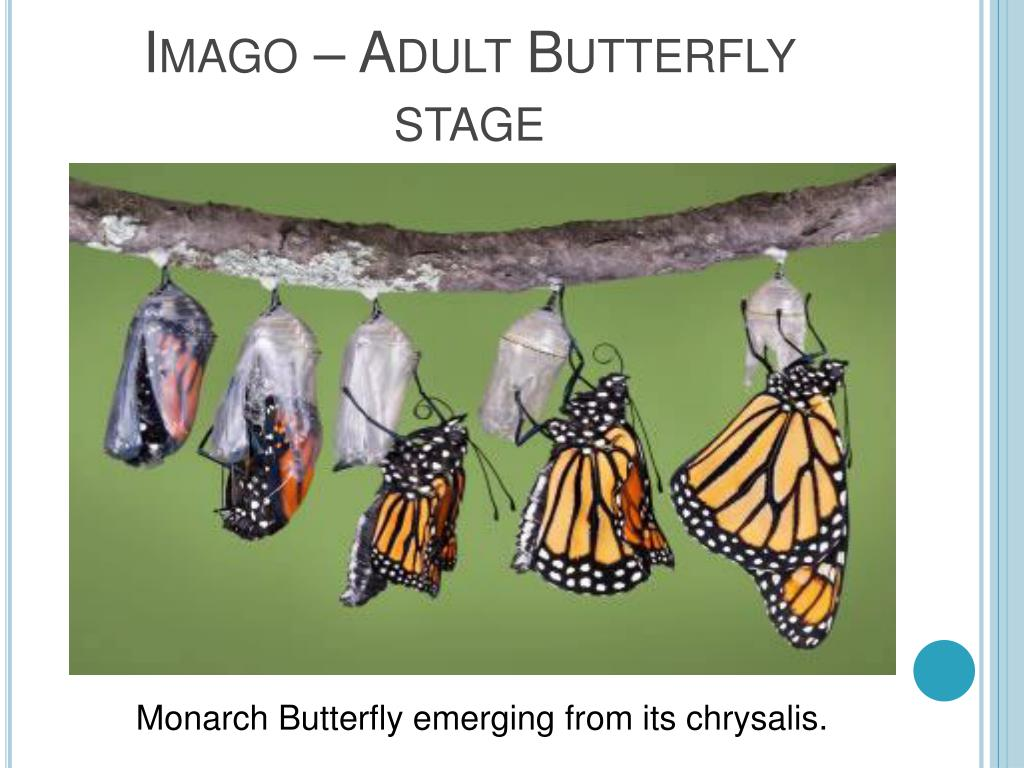 Imago – Adult Butterfly stage