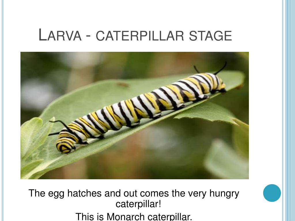 Larva - caterpillar stage