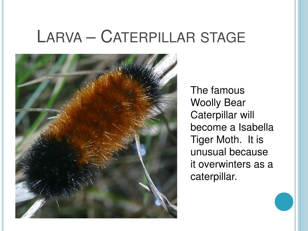 Larva – Caterpillar stage