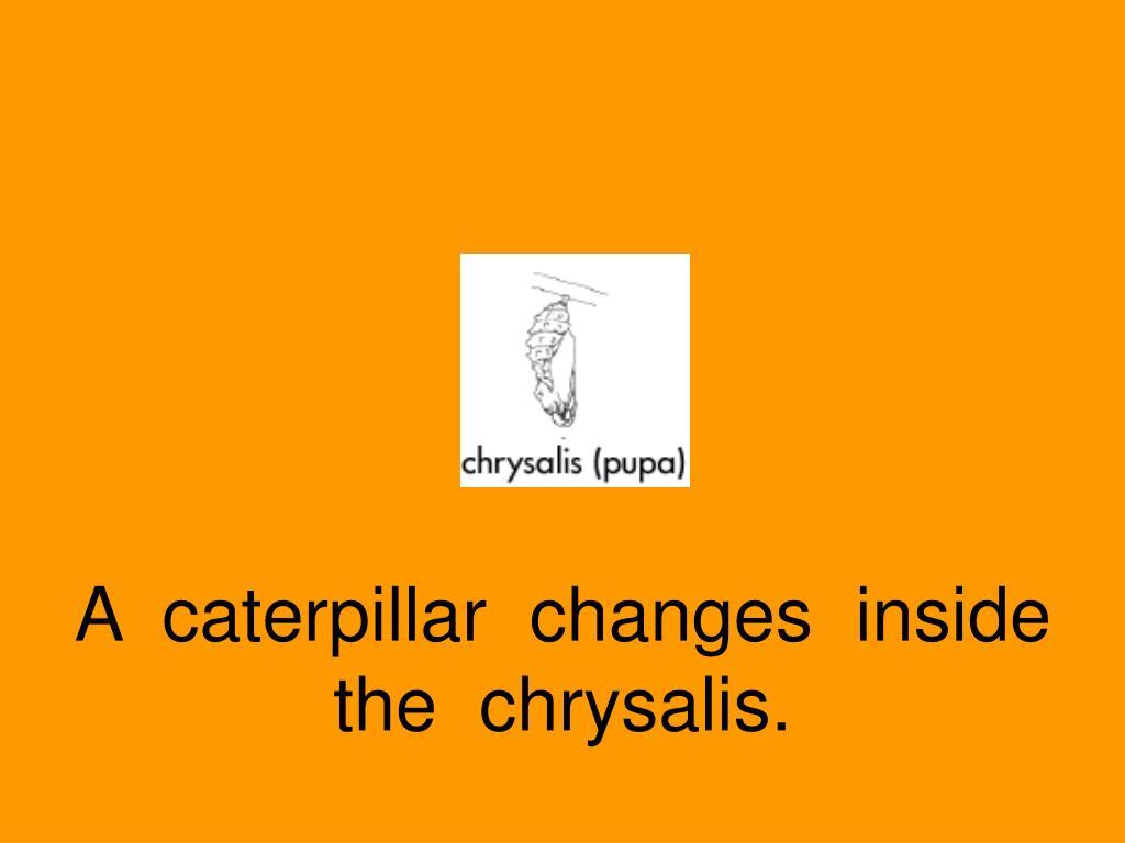 A  caterpillar  changes  inside  the  chrysalis.