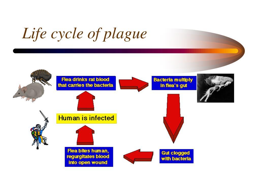 Life cycle of plague