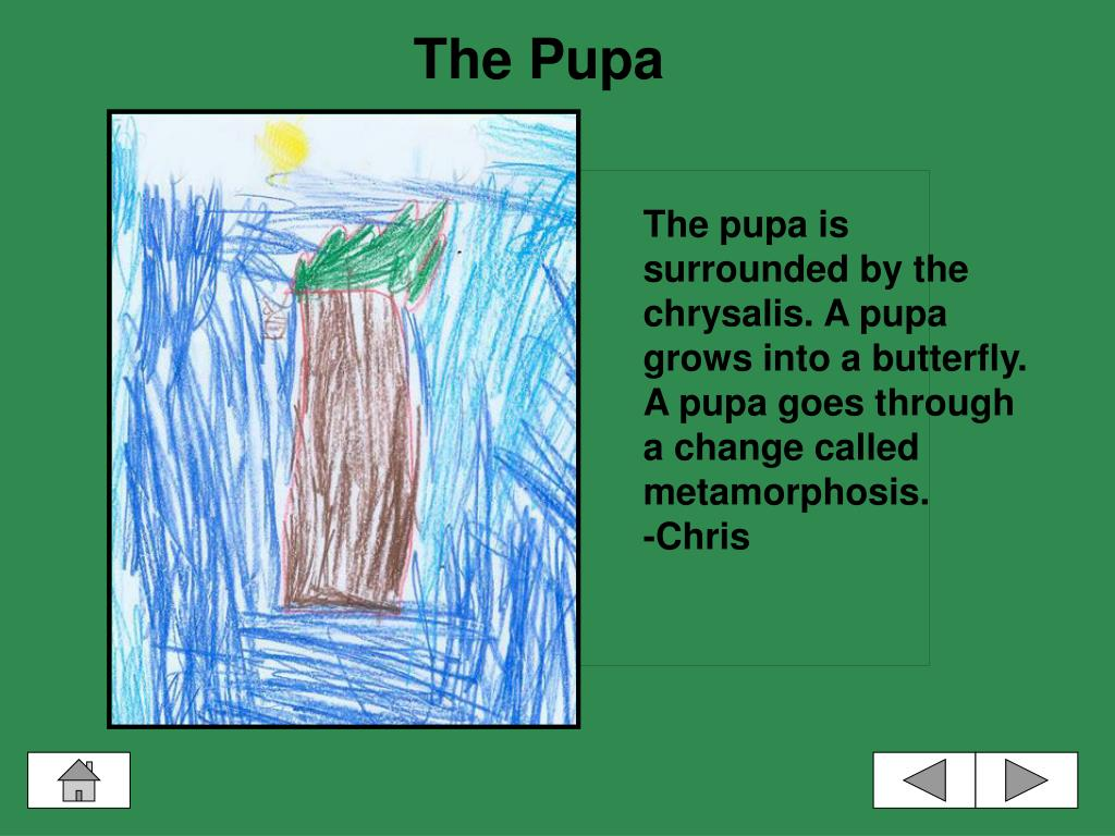 The Pupa