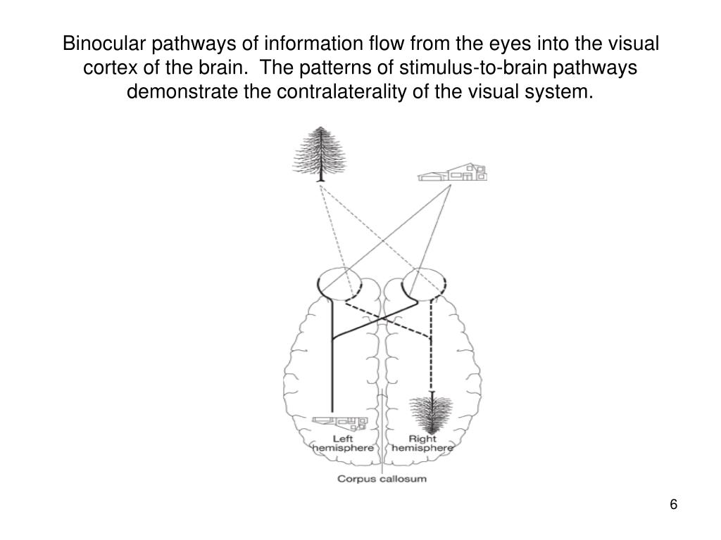Binocular pathways of information flow from the eyes into the visual cortex of the brain.  The patterns of stimulus-to-brain pathways demonstrate the contralaterality of the visual system.