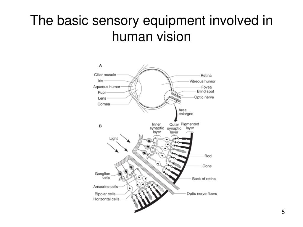The basic sensory equipment involved in human vision