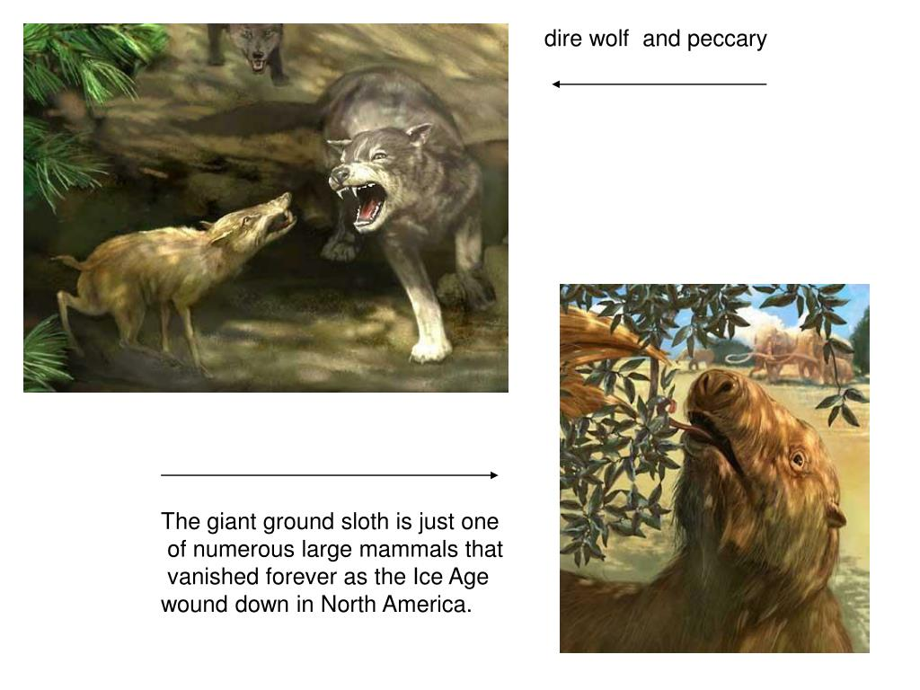 dire wolf  and peccary