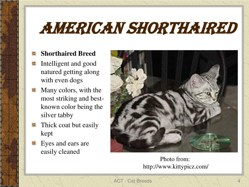 American Shorthaired