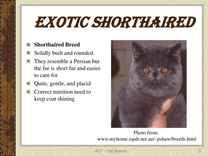 Exotic shorthaired