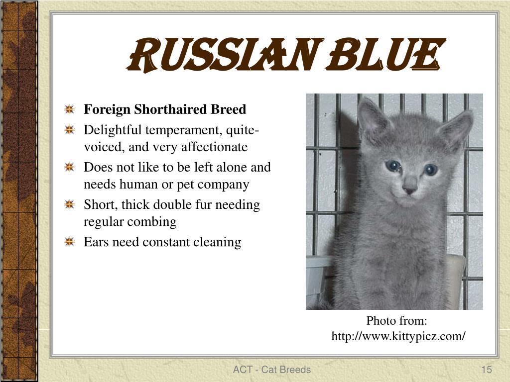 Russian Blue