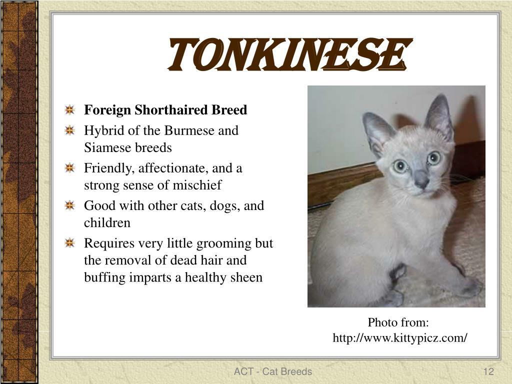 Tonkinese