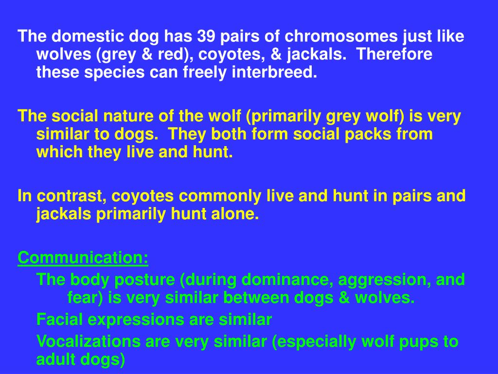The domestic dog has 39 pairs of chromosomes just like wolves (grey & red), coyotes, & jackals.  Therefore these species can freely interbreed.
