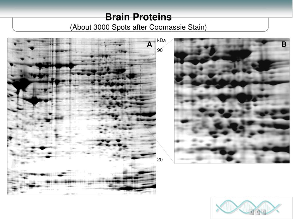 Brain Proteins