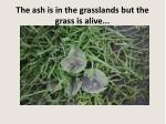 the ash is in the grasslands but the grass is alive