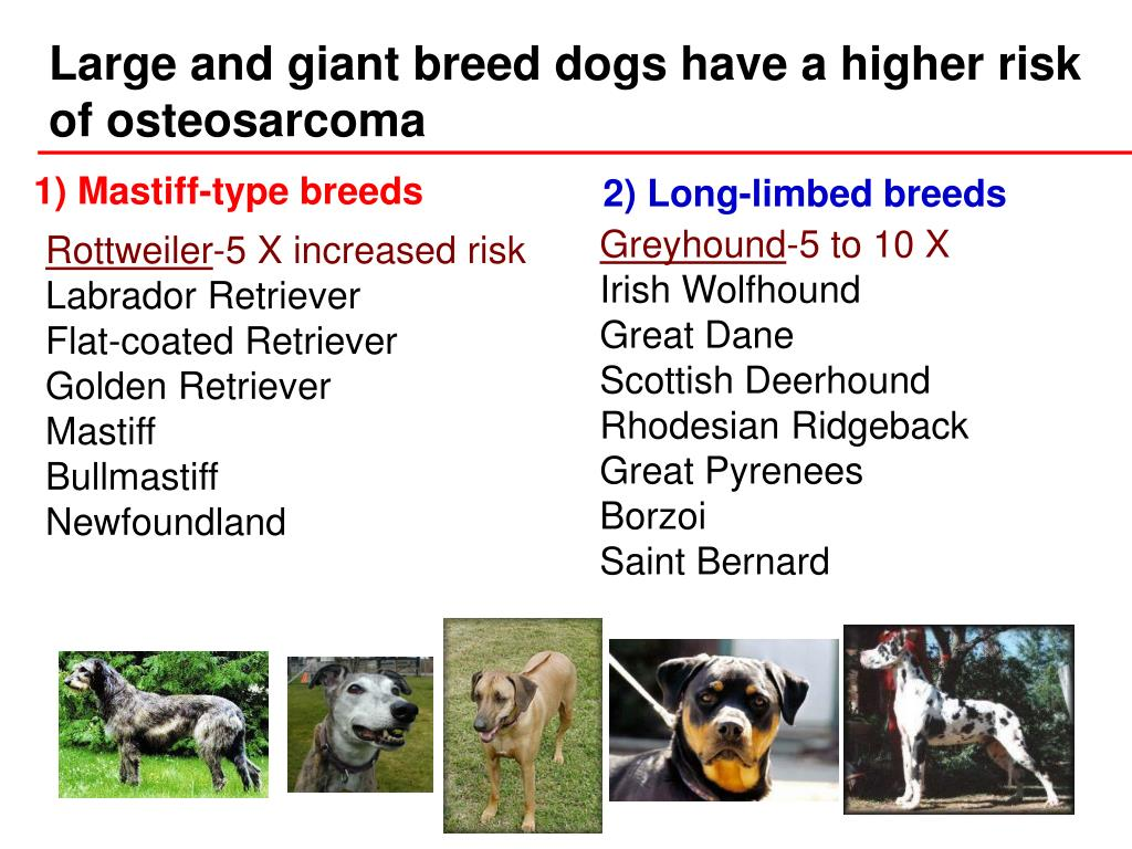 Large and giant breed dogs have a higher risk