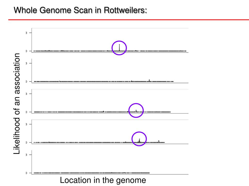 Whole Genome Scan in Rottweilers: