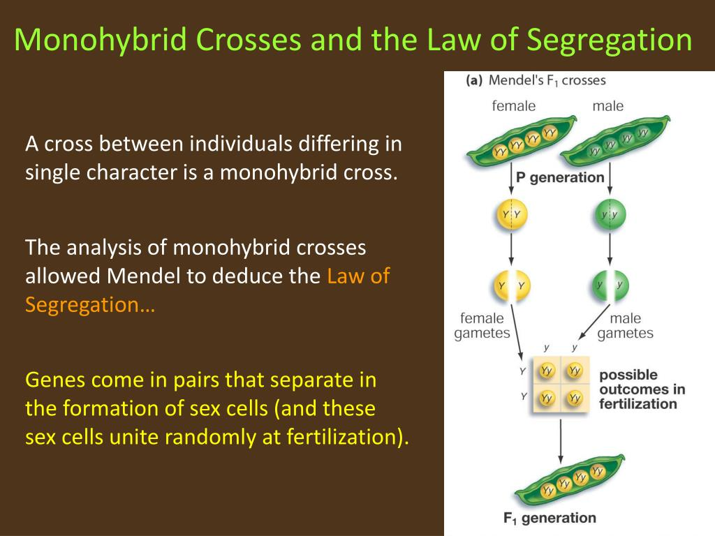 Monohybrid Crosses and the Law of Segregation