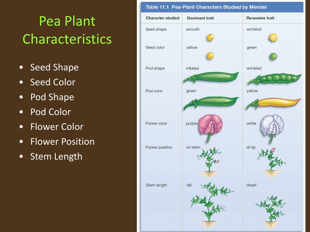 Pea Plant Characteristics