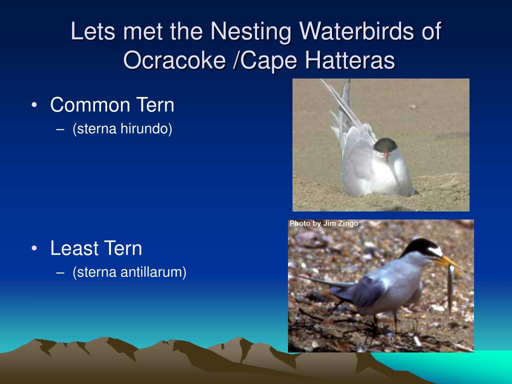 Lets met the Nesting Waterbirds of