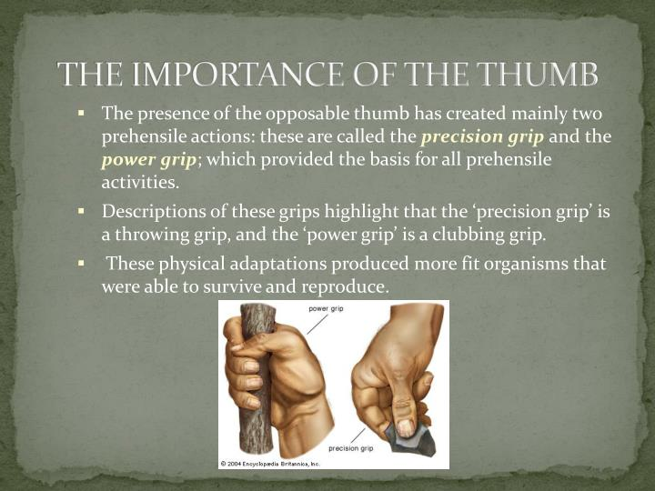 The importance of the thumb