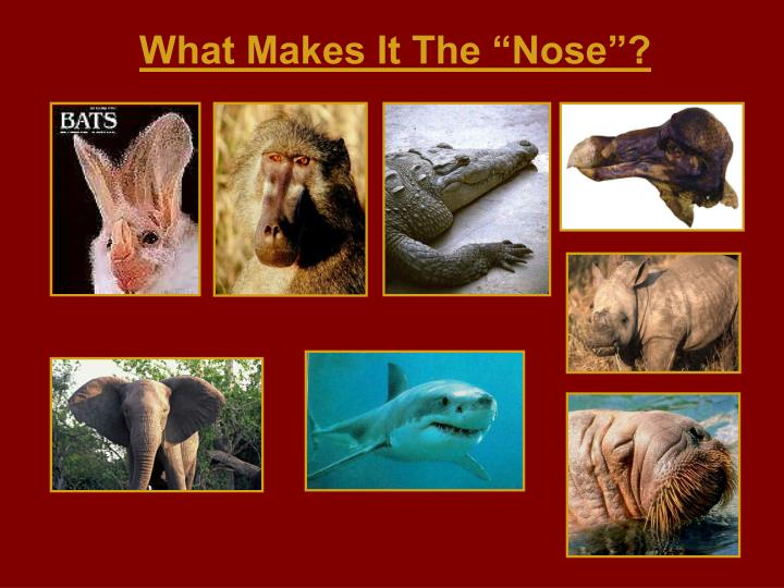 """What Makes It The """"Nose""""?"""