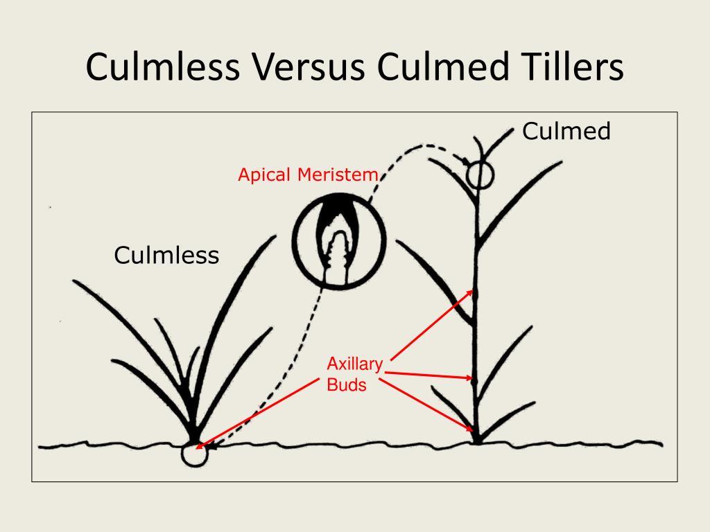 Culmless Versus Culmed Tillers