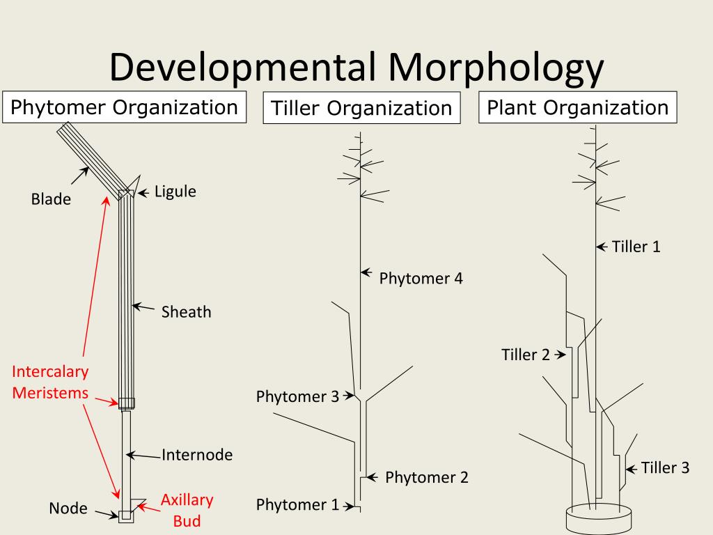 Developmental Morphology