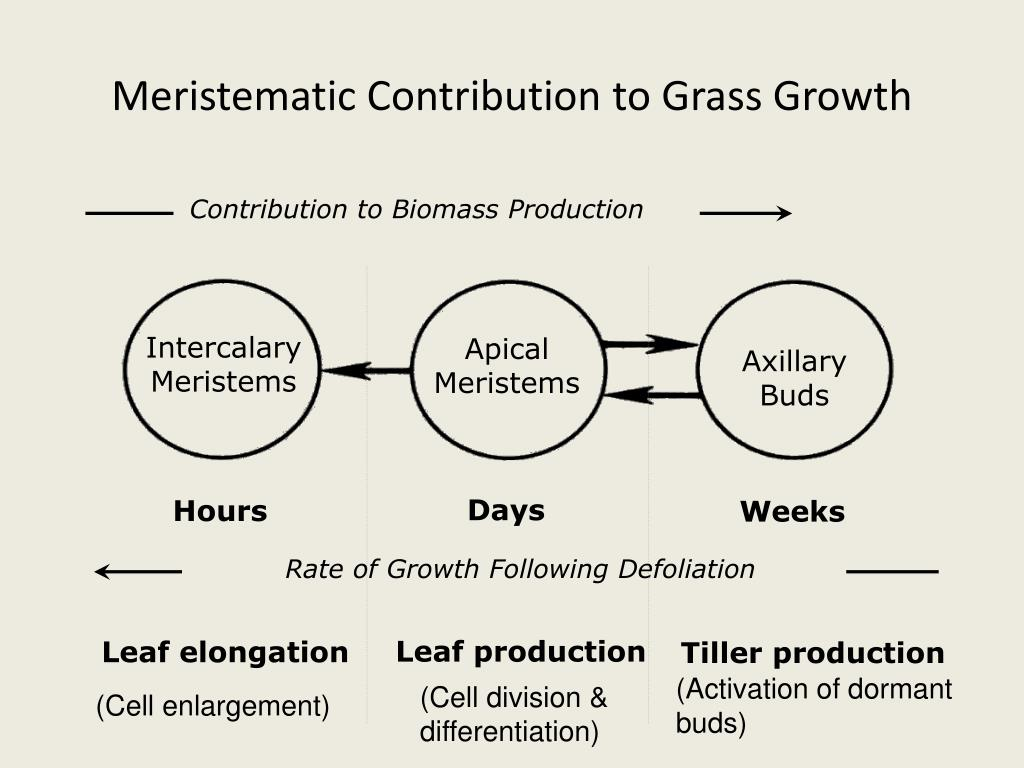Meristematic Contribution to Grass Growth