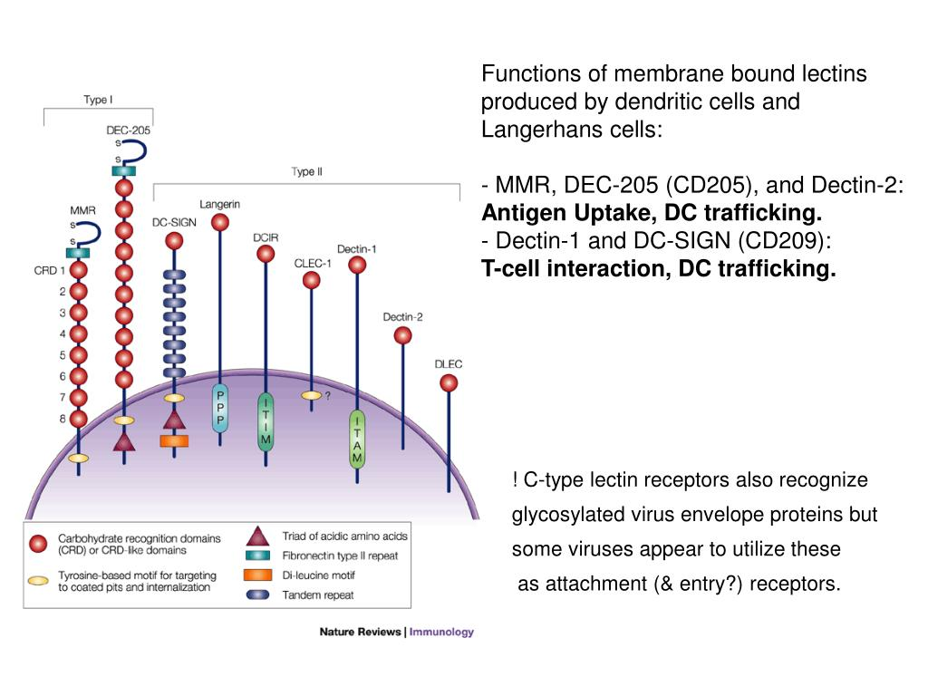 Functions of membrane bound lectins