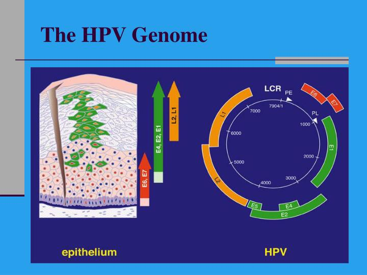 The HPV Genome