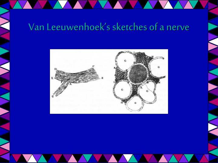 Van Leeuwenhoek's sketches of a nerve