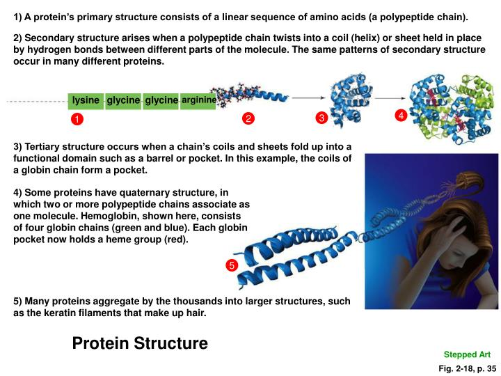 1) A protein's primary structure consists of a linear sequence of amino acids (a polypeptide chain).