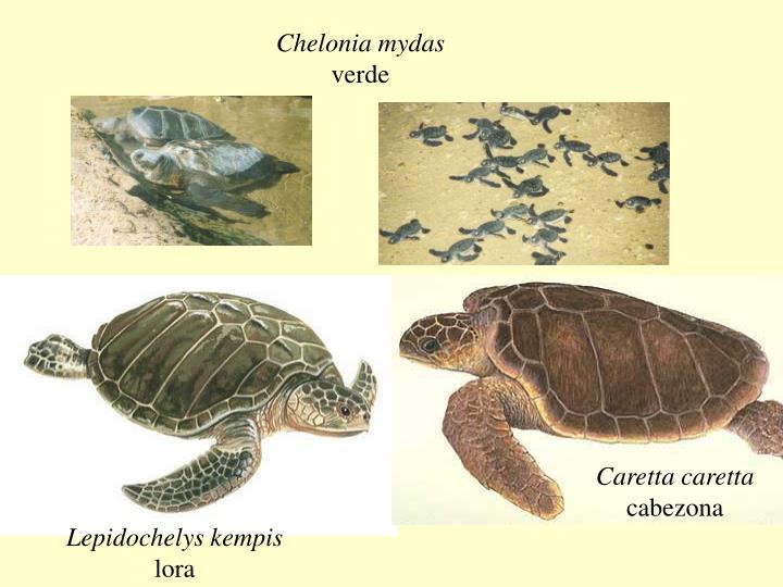 Chelonia mydas