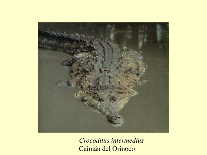 Crocodilus intermedius