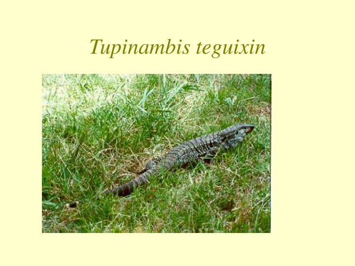 Tupinambis teguixin