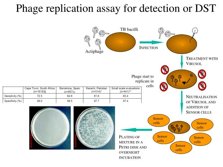 Phage replication assay for detection or DST