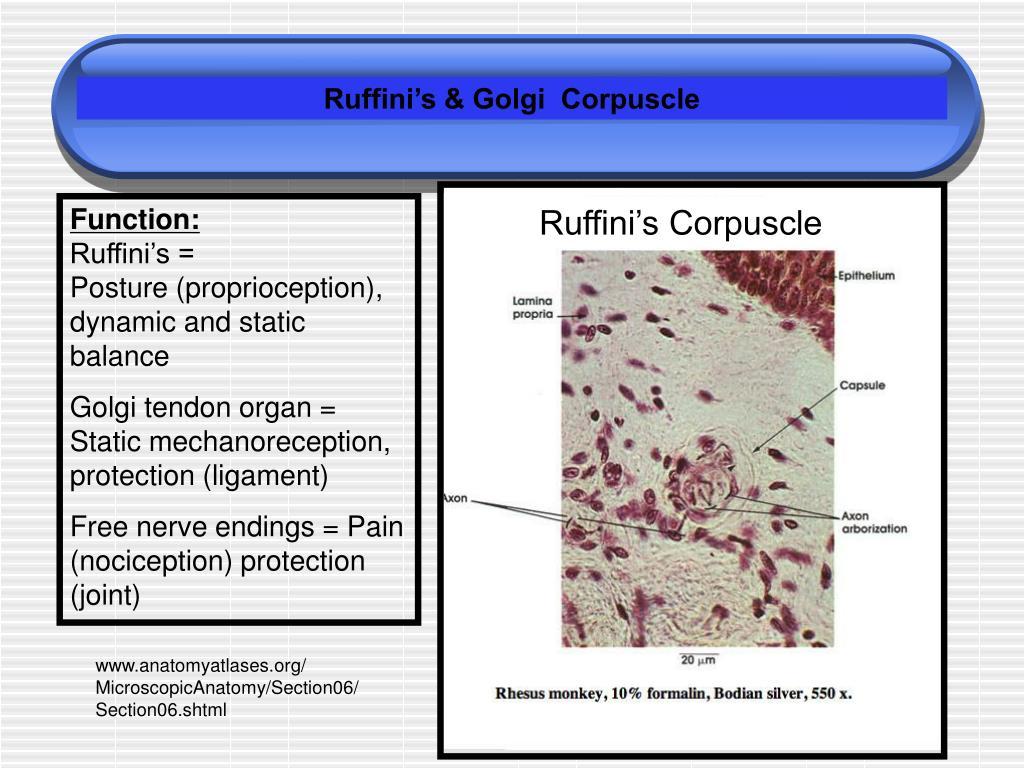 Ruffini's & Golgi  Corpuscle