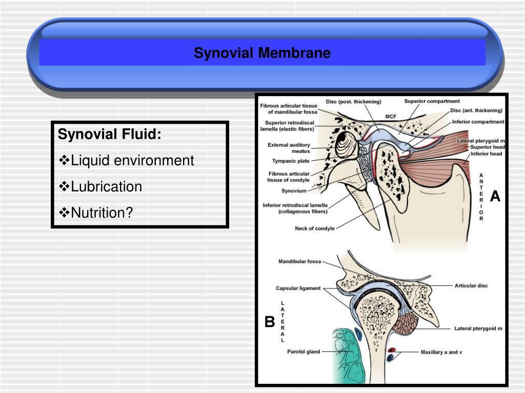 Synovial Membrane