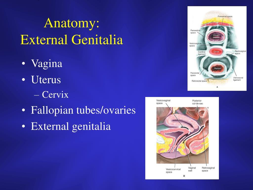 Anatomy:  External Genitalia