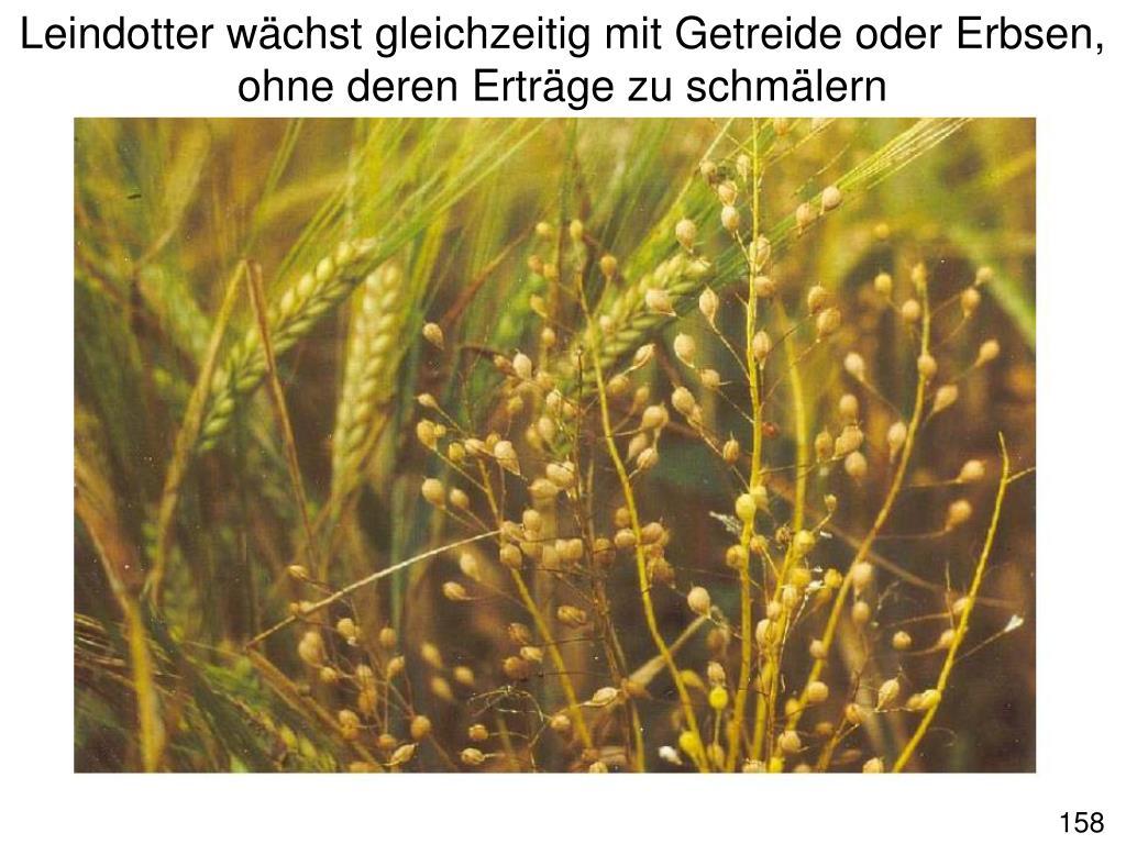 Leindotter wächst gleichzeitig mit Getreide oder Erbsen,