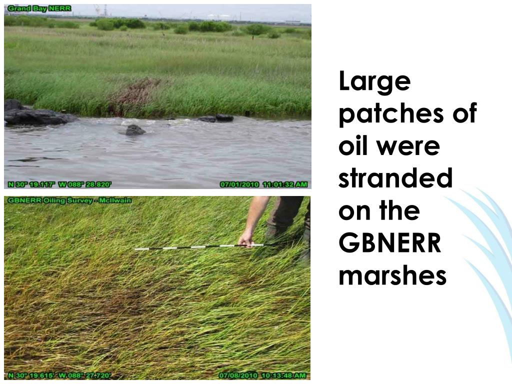 Large patches of oil were stranded on the GBNERR marshes