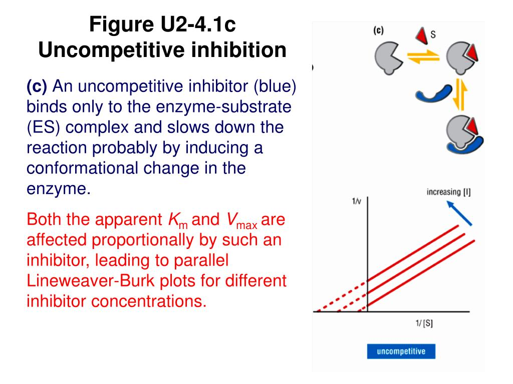 Figure U2-4.1c Uncompetitive inhibition