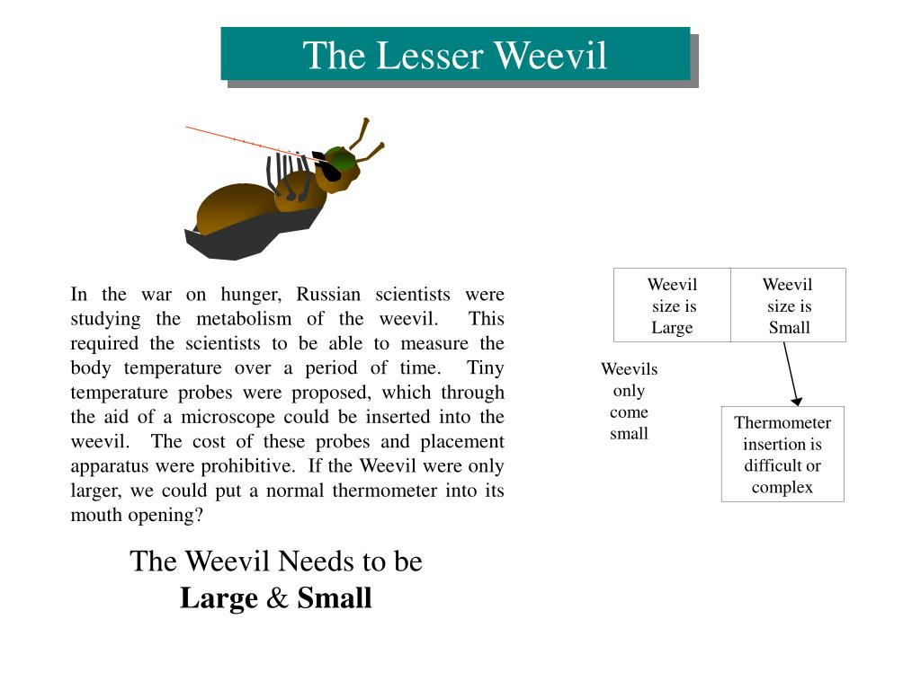 The Lesser Weevil